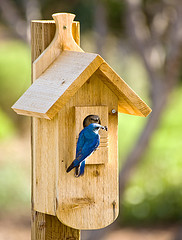 Bluebird sitting on perch in front of wooden birdhouse mounted on a pole,Bluebird Houses, Bluebird Nest Box,Bluebird picture.