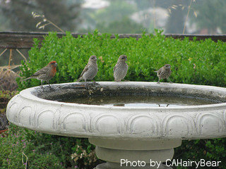 Pedestal fountain stone base top with four birds sitting on edge of fountain rim, bird water features, outdoor bird fountains.