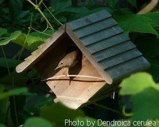 House wren looking out of wooden birdhouse mounted in a tree,House wren birdhouse plans,House wren picture