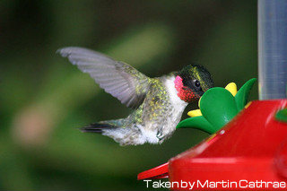Hummingbird hovering while drinking out of red birdfeeder, tubular birdfeeders, platform feeders.