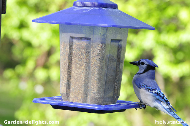 Plastic see-through birdfeeder with blue roof with blue Jay eating food in the garden having a protective blue roof overhang allows the seed tray to be protected from the rain. Birdhouses virtually unbreakable with the stabilizing UV plastic allowing for years of enjoyment, window birdfeeders, country station urged feeders, DIY window birdfeeders, horizontal birdfeeders, patio birdfeeders, garden birdfeeders,sheltered window birdfeeders, favorite birdfeeders, window viewing birdfeeders.