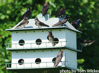 Two-story white purple Martin house with birds hanging out on platform, custom birdhouse, decorative birdhouse